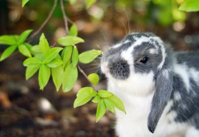 Обои кролик, ветка, листочки, уши, нос