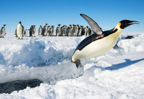 Обои Императорский пингвин, птицы, прыжок, Антарктида, снег