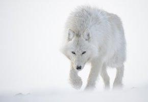 Обои Волк, снег, белый, Полярный