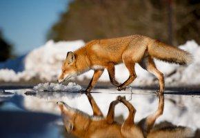 Обои лиса, хвост, зима, вода, winter, ice, fox