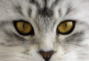 Обои кот, кошка, морда, нос, глаза, взгляд, усы