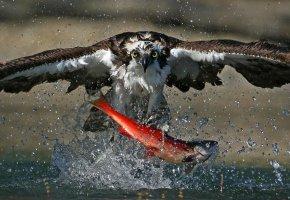 Обои Птица, охота, рыба, брызги, fish, feed, еда