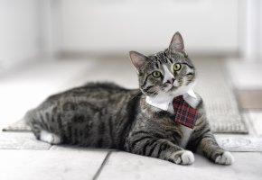 Обои кот, морда, усы, взгляд, галстук