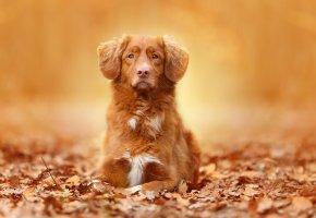 Обои пес, рыжий, морда, листья, осень