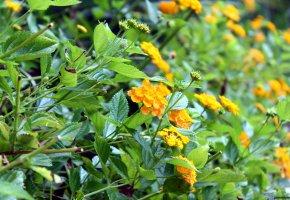 Обои цветы, зелень, листья, природа, oboitut, бутоны