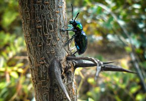 Обои шипы, жук, дерево, кора, ползёт, вверх