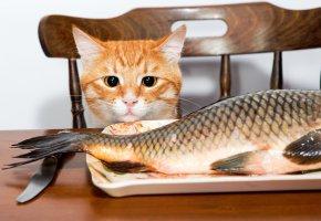 Обои Кошка, Рыба, Взгляд, хвост, уши