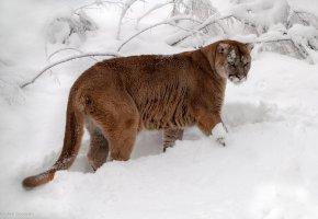 Обои кошка, Пума, Снег, зима, хвост