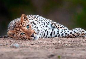 Обои Леопард, большая, кошка, взгляд, лапы