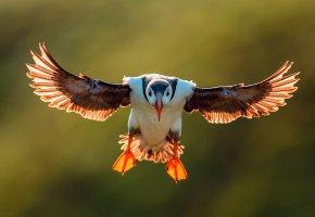 Обои птица, крылья, перья, тупик, паффин, полёт