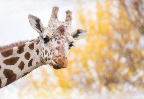 Обои жирафа, фон, морда, пятна, рожки, уши