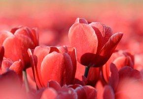 Обои природа, тюльпаны, красный, лепестки