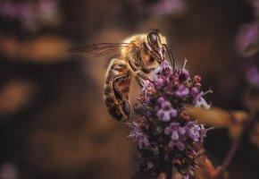 Обои лаванда, пчела, фон, макро, цветы