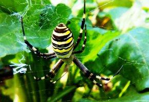 Обои паук, полосатый, паутира