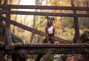 Обои собака, взгляд, друг, мост, осень