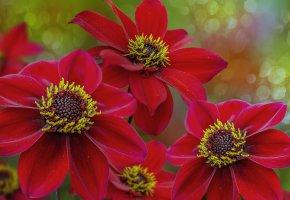 Обои цветы, красные, фон, природа, лепестки