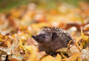 Обои природа, осень, ёж, листья, иголки, морда
