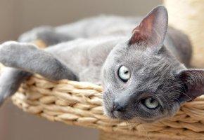 Обои кот, дымчатый, сероглазый, котенок, серый, взгляд, лежит, кошка