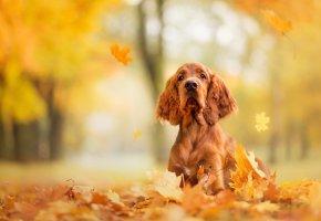 Обои собака, пес, осень, листопад, листва, порода, морда, рыжая, парк