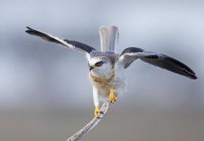 Обои птица, Белохвостый, дымчатый, коршун, крылья, хвост, перья