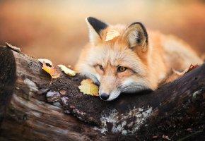Обои лиса, лисица, дерево, бревно, осень, листья