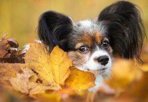 Обои собака, осень, мордочка, листья, папильон, щенок, взгляд, портрет