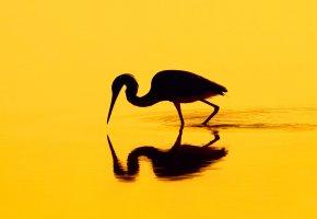 Обои птица, силуэт, отражение, цапля
