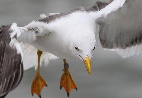 Обои природа, птица, полёт, чайка, крылья, лапы