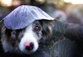 Обои собака, лист, капуста, взгляд, морда, нос