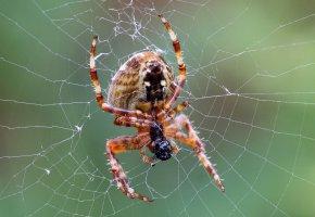 Обои spider, паук, паутина, лапы, макро