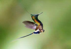 Обои птица, полёт, колибри, взлёт, крылья, клюв