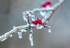 Обои лёд, ветка, ягоды, рябина