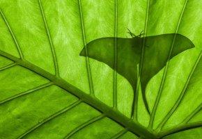 Обои бабочка, силуэт, лист, павлиноглазка, сатурния луна