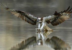 Обои птица, когти, крылья, охота, перья, вода