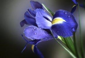 Обои желтый, синий, ирис, цветы