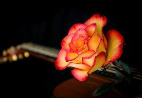 Обои роза, фон, гитара, лепестки, макро