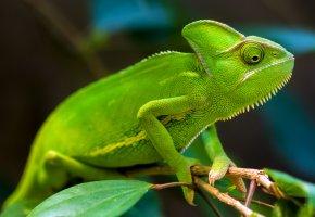Обои chameleons, green, Хамелеон, зеленый, лапы, ветка