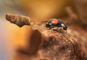 Обои ladybird, autumn, ladybug, leaf, божья коровка, пятна, лист, макро
