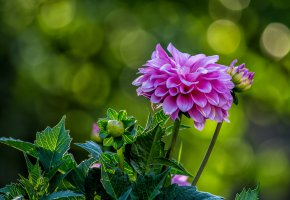 Обои георгин, цветок, флора, бутон, лепестки