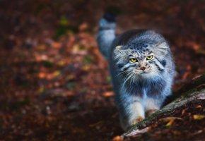 Обои кот, Манул, Otocolobus manul, пушистый, прогулка