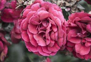 Обои Розы, цветы, бутоны, лепестки, макро