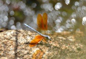 Обои Насекомое, стрекоза, крылья, блики