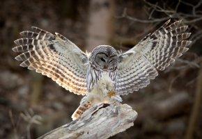 Обои крылья, Птица, сова, перья