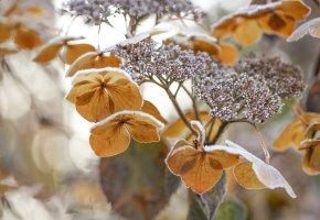 Обои цветок, гортензия, зима, мороз, макро