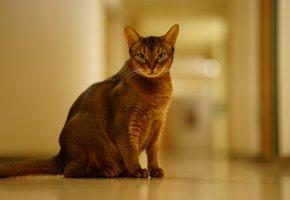 Обои животное, абиссинская, фон, взгляд, кошка