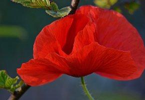 Обои Red, poppy, мак, Красный, цветок