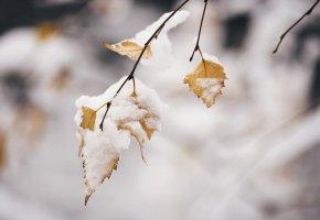 Обои листья, снег, зима, ветка