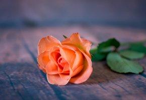Обои Цветок, роза, лепестки, макро