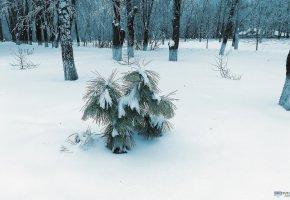 Обои пейзаж, зима, снег, ель, oboitut, деревья