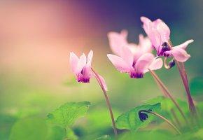 Обои цикламены, макро, лепестки, цветок